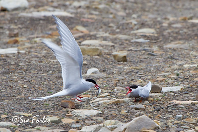 Arctic tern (sterna paradisaea) bringing its mate a fish, Longyearbyen, Spitsbergen