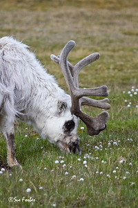 Bull Spitsbergen reindeer (rangifer tarandus platyrhynchus) grazing in Longyearbyen, Spitsbergen