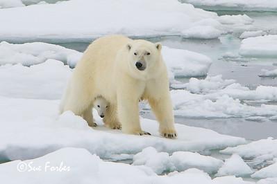 Polar Bear cub hiding behind its mother