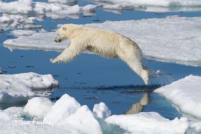 Female Polar Bear (ursus maritimus), in flight, Olga Strait, Svalbard, Norway