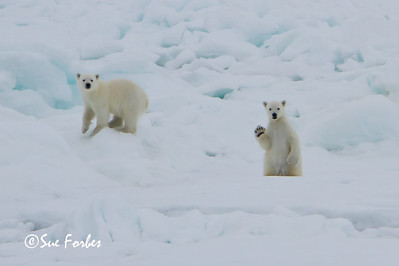 Polar Bear cub waving