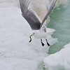 Black legged kittiwake (rissa tridactyla) catching a fish in the pack ice, Hinlopen Strait, Svalbard