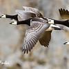 Barnacle geese (branta leucopsis) at Vasolbukta, Bellsund, Spitsbergen