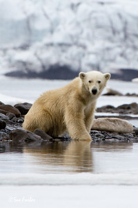 Polar Bear (Ursus maritimus), Hornsund, Svalbard, Norway