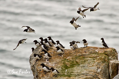 Dovekies or Little Auks (alle alle) on Fuglesangen Is, Nordvestoyane, Spitsbergen