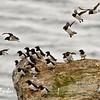 Dovekies or Little Auks (alle alle) on Fuglesangen Is, Nordvestoyane, Spitsbergen
