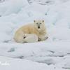Polar Bear (ursus maritimus) mother & cub sleeping on the pack ice, Svalbard, Norway