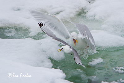 Black legged kittiwake (rissa tridactyla) being attacked by a Glaucous Gull, Hinlopen Strait, Svalbard