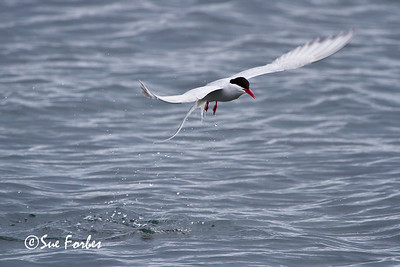 Arctic Tern (sterna paradisaea) fishing at Poolepynten, Svalbard