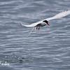 Arctic Tern (sterna paradisaea) fishing at Poolepynten, Svalbard