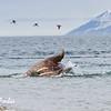 Walrus (odobenus rosmarus) at Torellneset, Svalbard