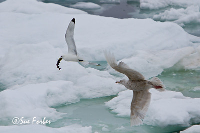 Black legged kittiwake (rissa tridactyla) catching a fish in the pack ice and being chased by a Glaucous gull, Hinlopen Strait, Svalbard