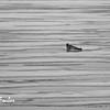 Ringed Seal (phoca hispida) on the pack ice near Wilhelm Is, Svalbard