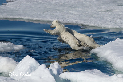 Polar Bear cubs (ursus maritimus) jumping across water in the pack ice, Svalbard, Norway