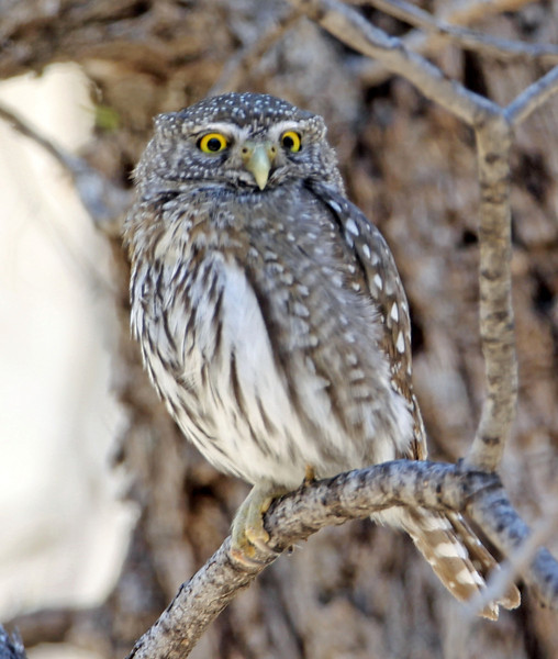 Northern Pypmy Owl<br /> Arizona