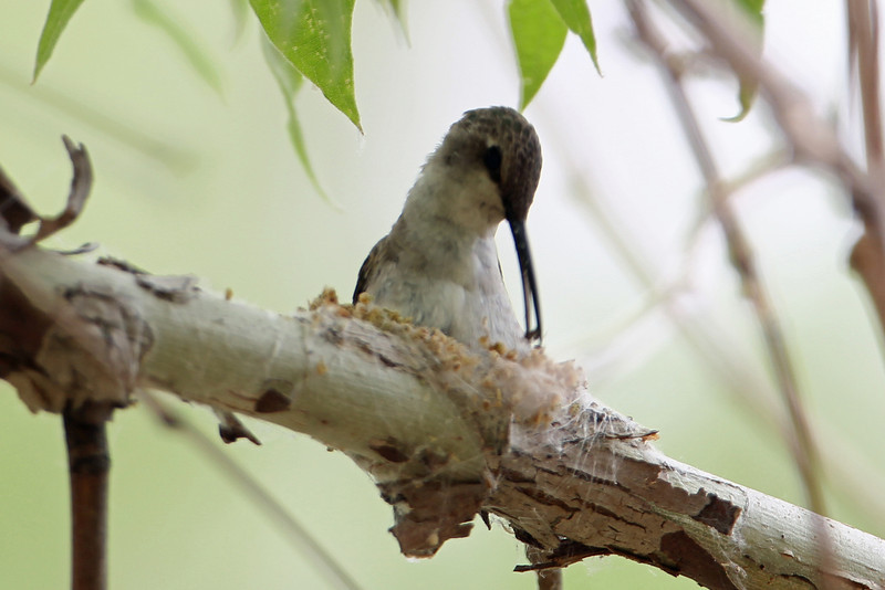 Black-chinned Hummingbird<br /> Arizona