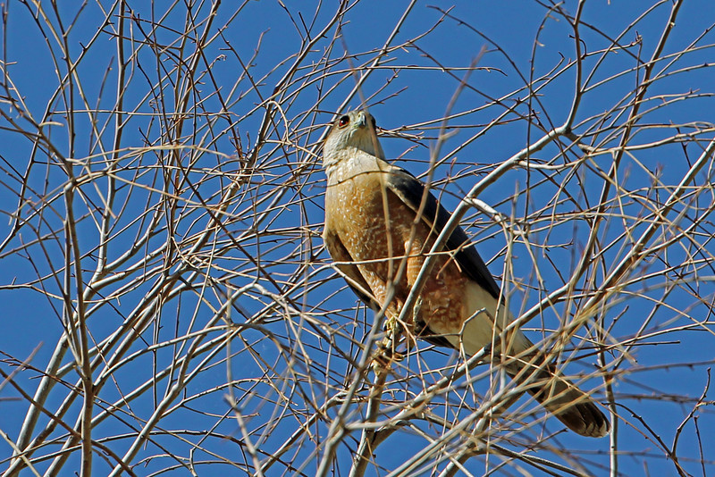Coopers Hawk<br /> Arizona