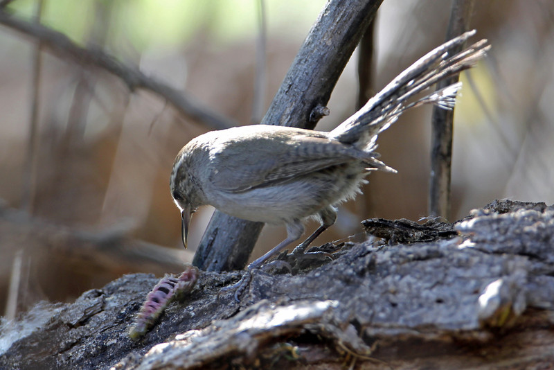 Bewick's Wren<br /> Arizona