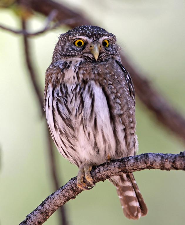 Northern Pypmy Owl<br /> Arizona