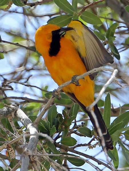 Hooded Oriole<br /> Arizona
