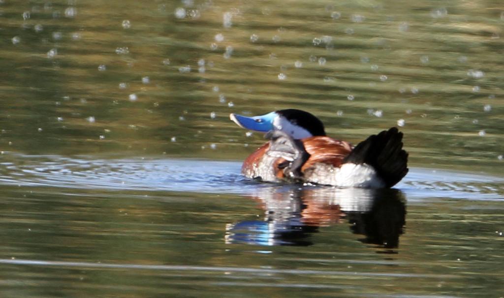 Ruddy Duck<br /> Arizona