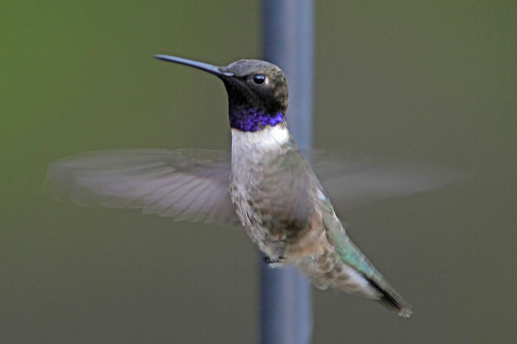 Black-chinned Hummingbird<br /> Arizona
