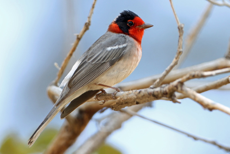 Red-faced Warbler<br /> Arizona