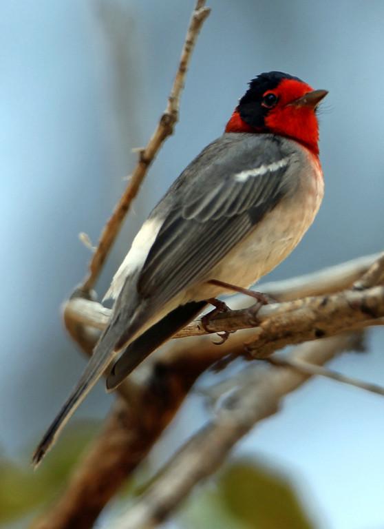 Red-faced Warbler<br /> Arizona
