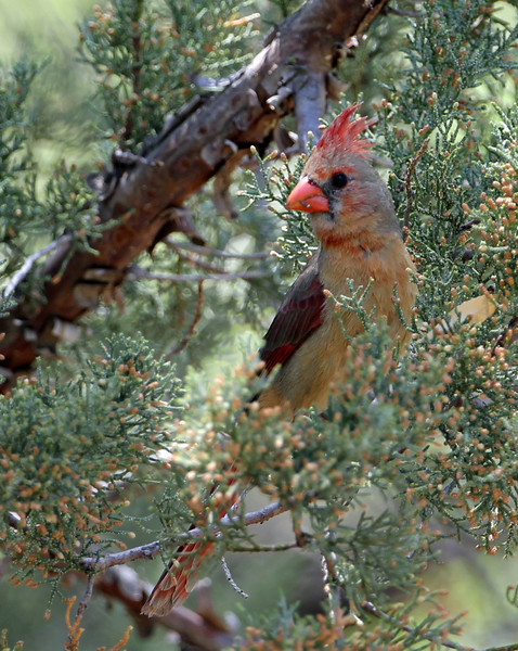 Northern Cardinal<br /> Arizona
