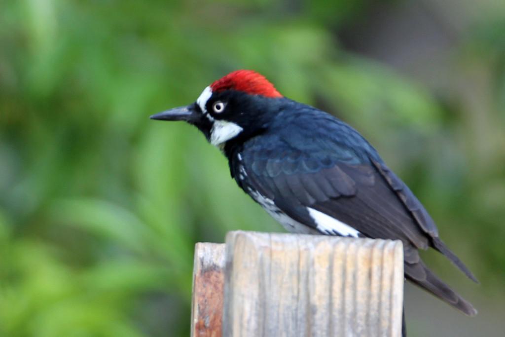 Acorn Woodpecker<br /> Arizona