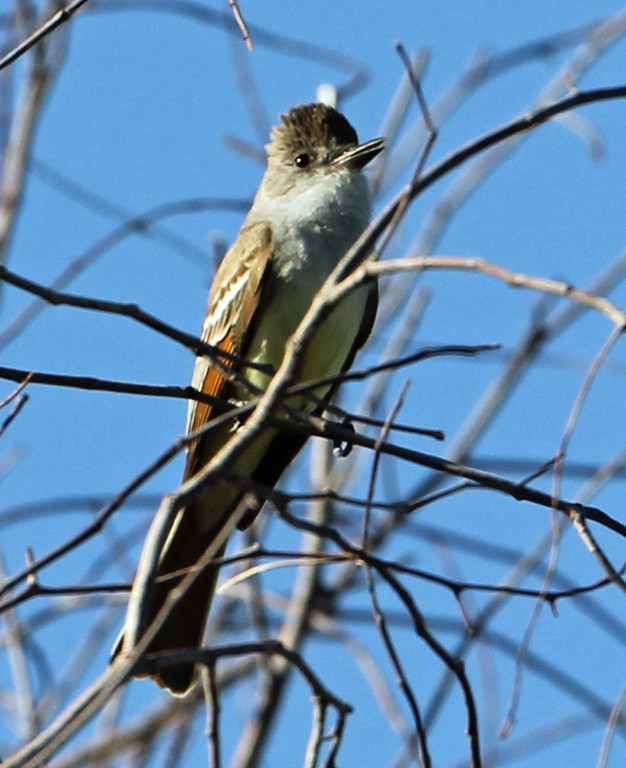 Brown-crested Flycatcher<br /> Arizona