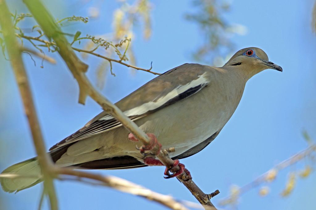 White-winged Dove<br /> Arizona