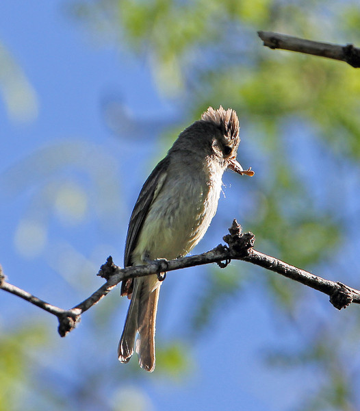 Northern Beardless Tyrannulet<br /> Arizona