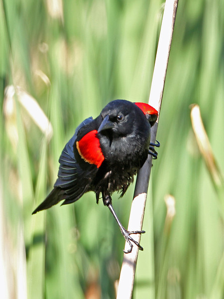 Red-winged Blackbird<br /> Arizona
