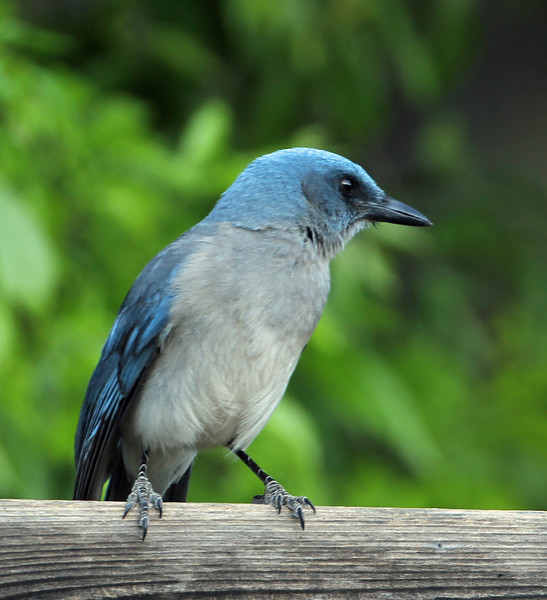 Mexican Jay<br /> Arizona