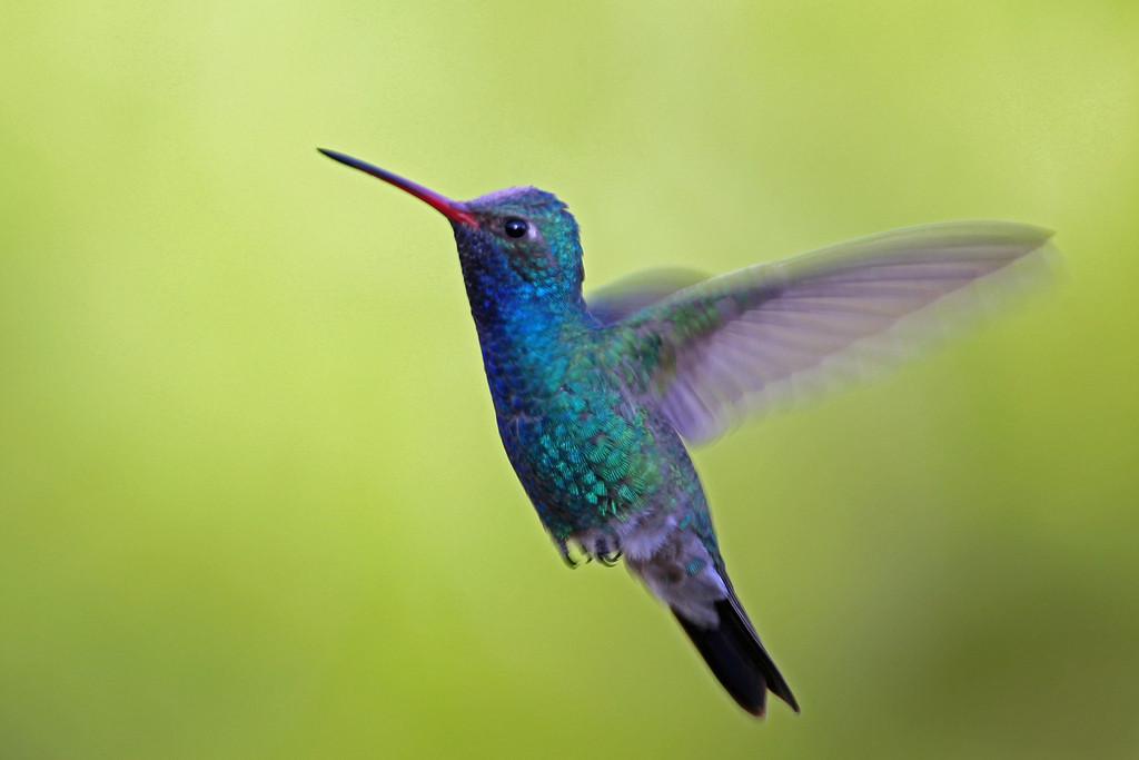 Broad-billed Hummingbird<br /> Arizona
