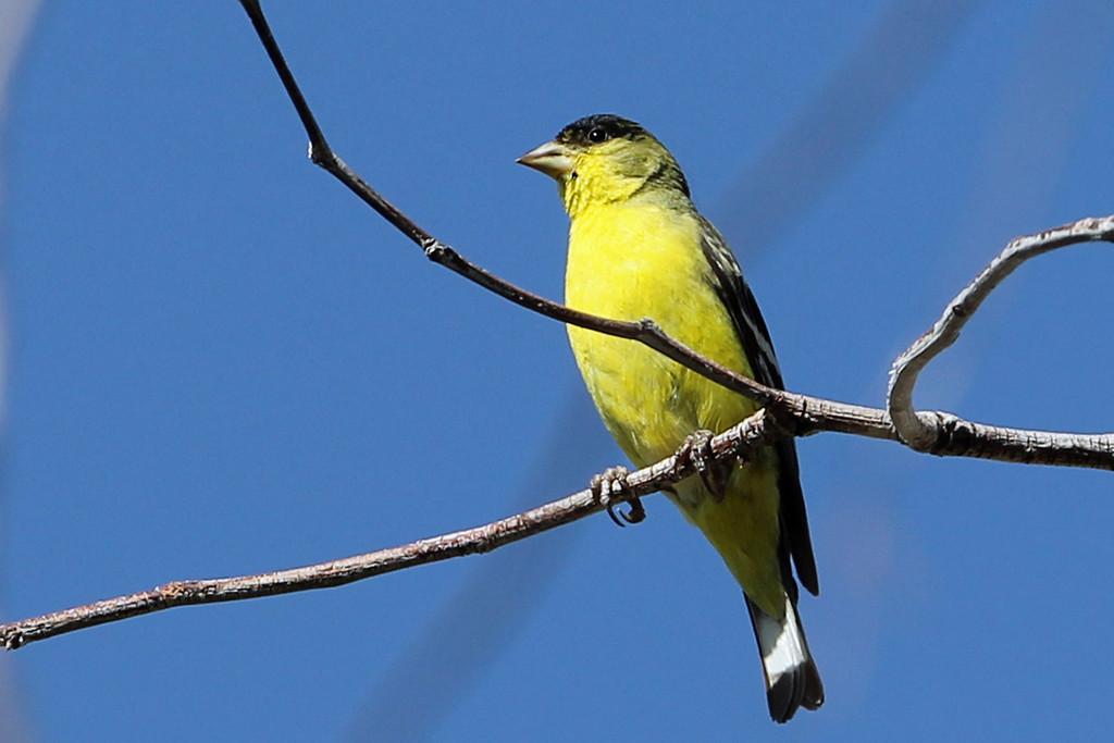 Lesser Goldfinch<br /> Arizona