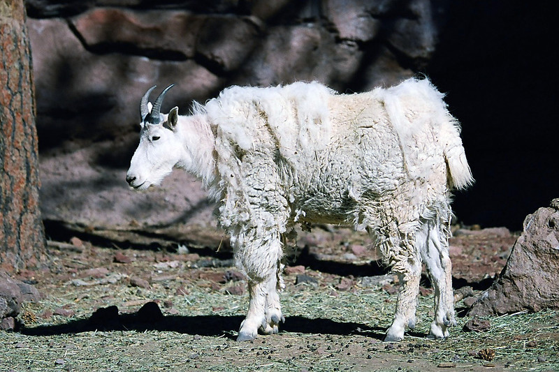 On the way home, we stopped at Bearizona, a drive through animal park south of the Grand Canyon. This is a mountain goat. May 2013.