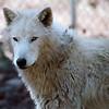 Alaskan Tundra Wolves. May 2013.