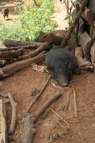 Shady Pig