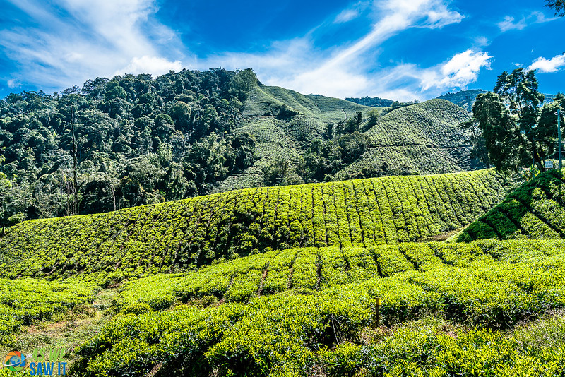 plantings on a tea plantation in Cameron Highlands