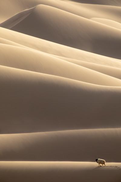 Lone sheep on the dunes of Khongoryn Els