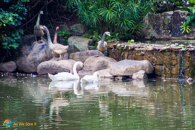 Swan Lake, Singapore Botanic Gardens