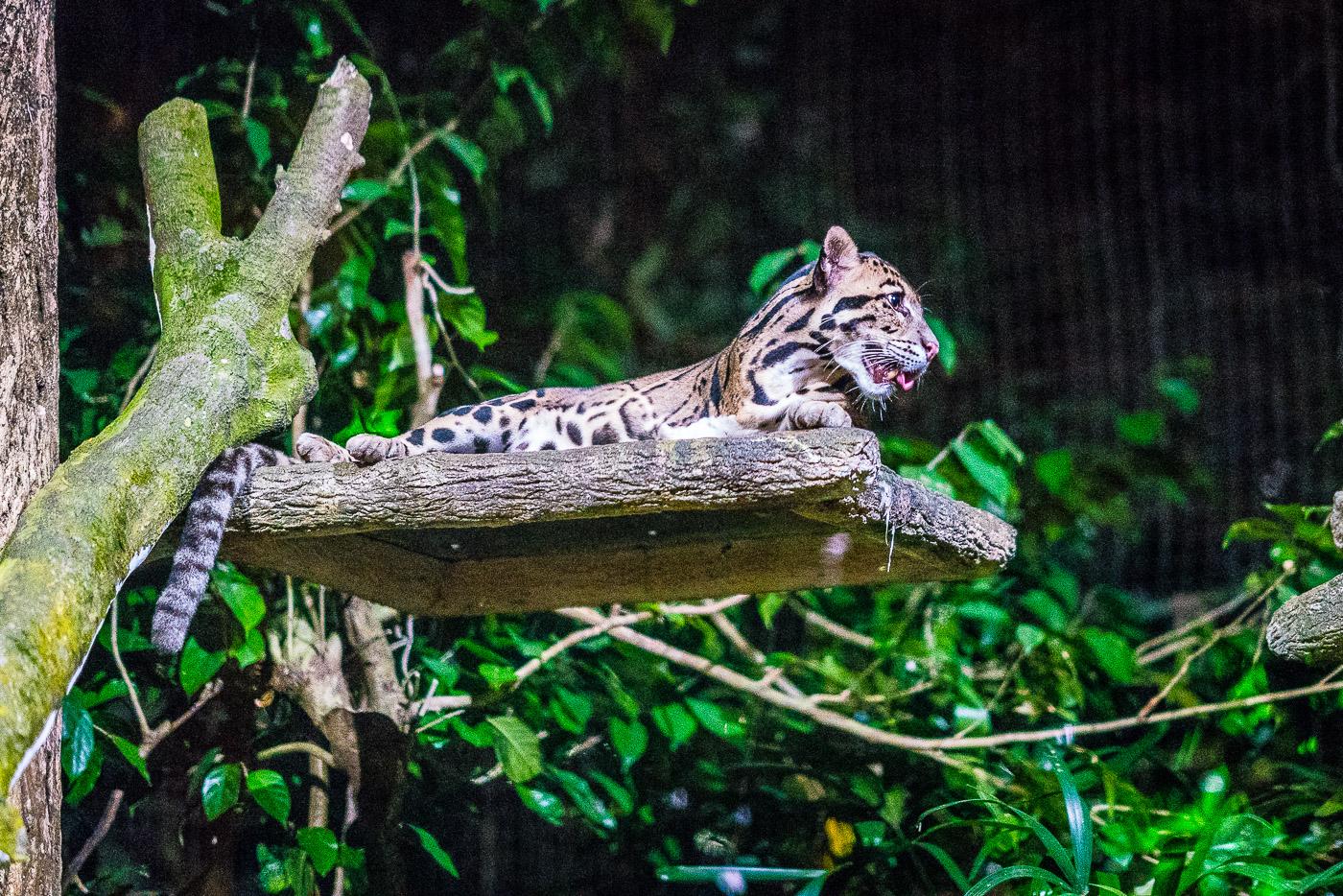 Ocelot resting at the night safari