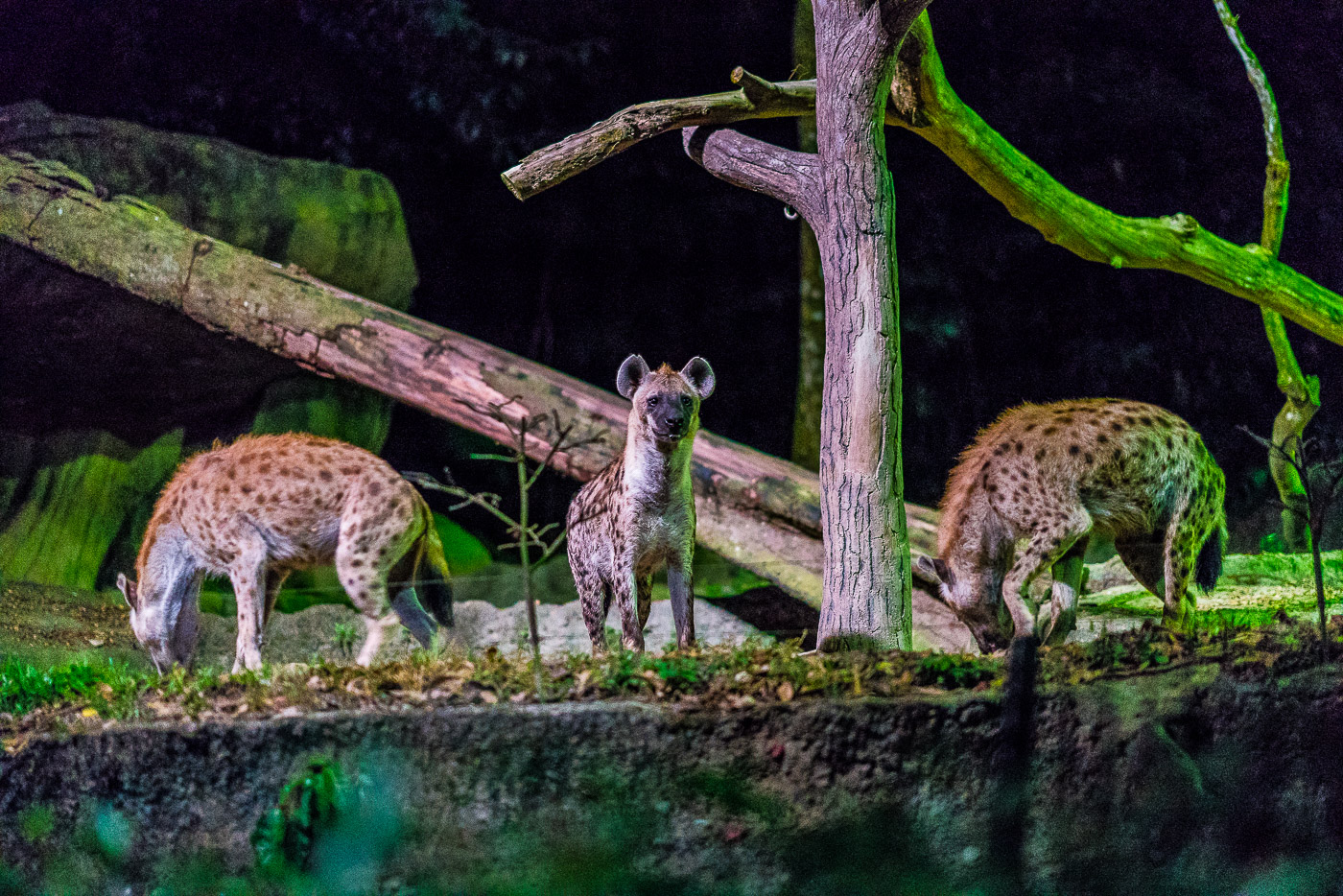Hyenas getting fed at the night safari in singapore