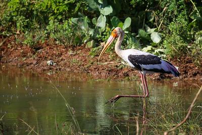Painted Stork (Mycteria leuocephala)
