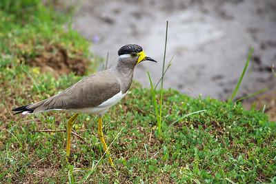 Yellow-wattled Lapwing (Vanellus malabaricus)