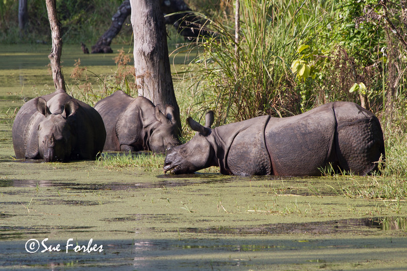 One-horned Indian Rhinoceros (Rhinoceros unicornis), Chitwan National Park, Nepal