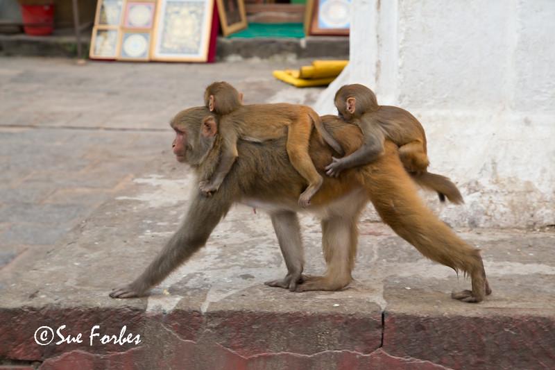 Rhesus Macaques at Swayambhunath Stupa, Kathmandu, Nepal
