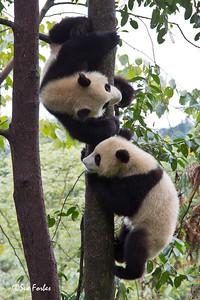 Giant Pandas, Ailuropoda melanoleuca  Ying & yang